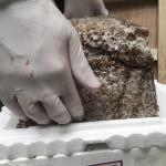 Fragmentation apparent indicating mycelia has not grown through the biomass